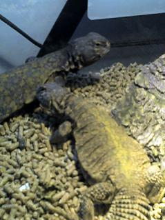 Two of my Mali Uros, Ares & (she needs a name).