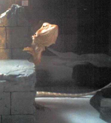 AEon peeking out from behind her basking ledge. (Pogona vitticeps)