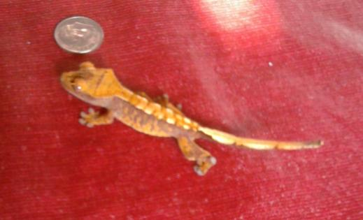 One of my unnamed baby Crested Geckos