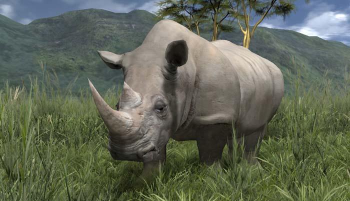 Afrika rhino