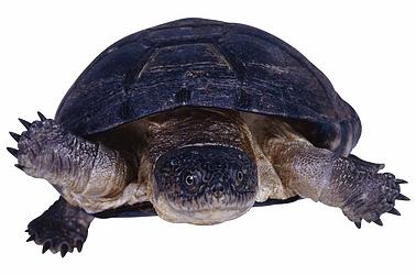 Turtle 2151