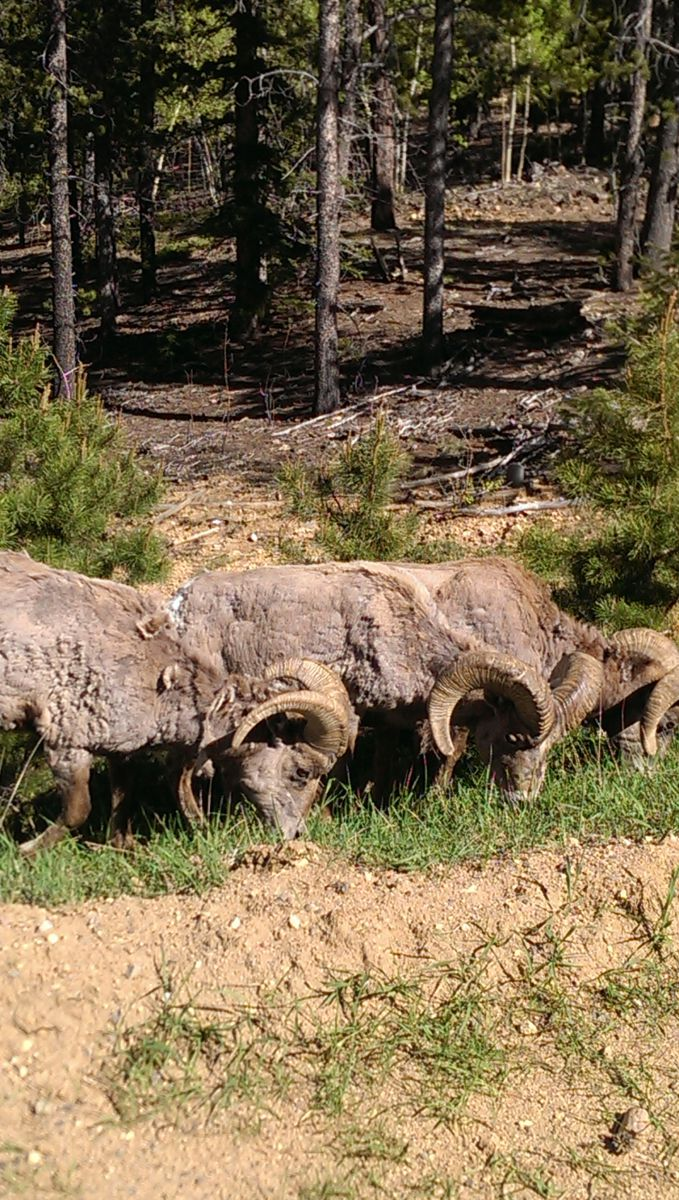 Lunch with Bighorns