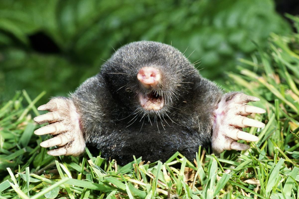 mole-big-578e5adf5f9b584d2015e449.jpg
